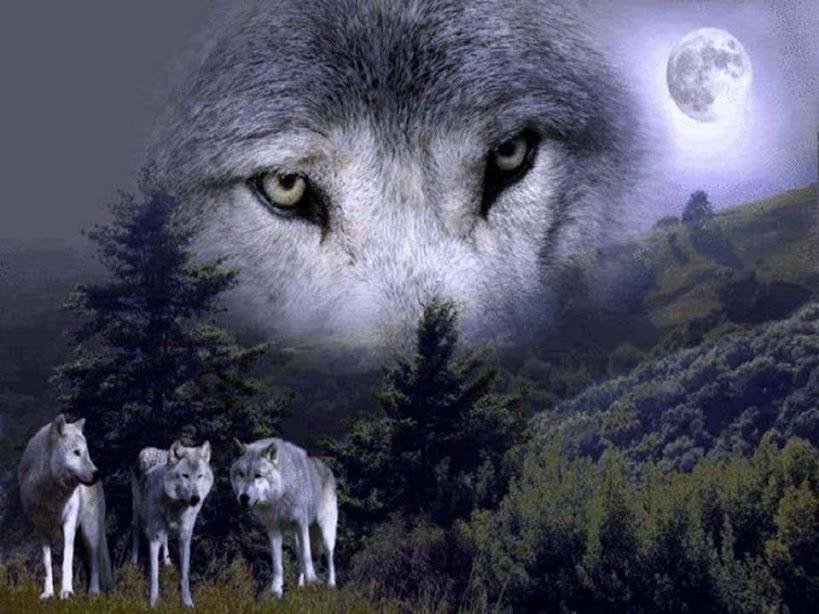 Loups et clair de Lune